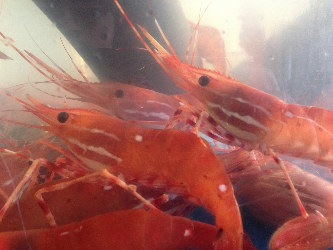 shrimp This file contains a global overview of the aquaculture species whiteleg shrimp.